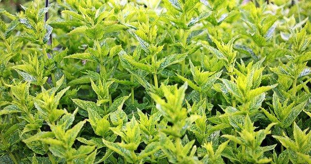 mint for a prepper garden