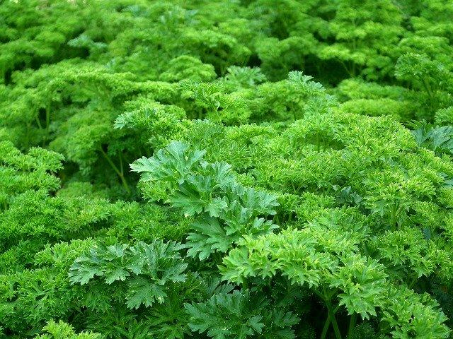parsley for a prepper garden