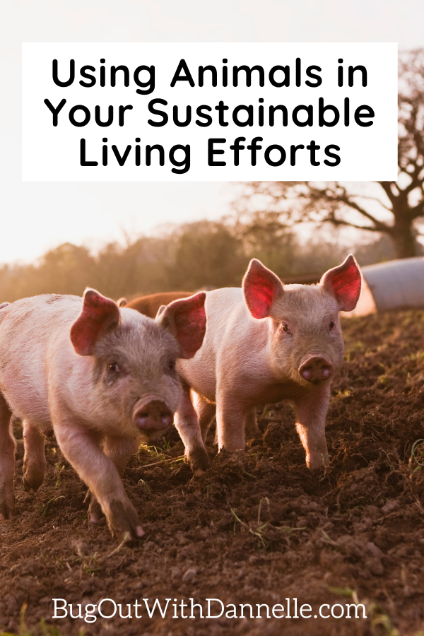 Using Animals in Your Sustainable Living Efforts article cover image with pigs