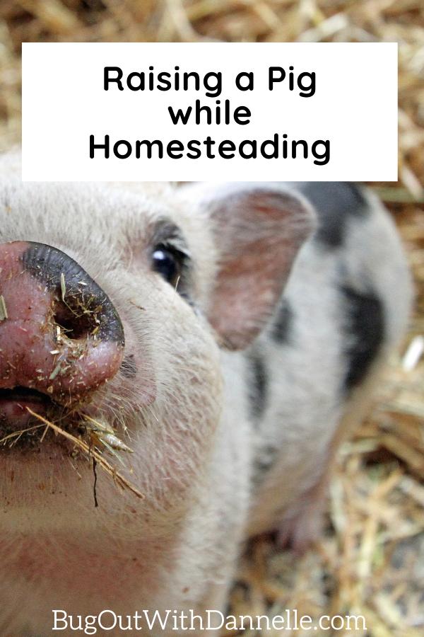 RAISING A PIG WHILE HOMESTADING