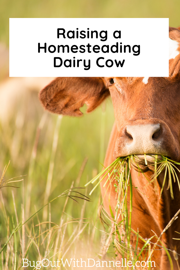 The Basics of Homesteading in America raising with a cow