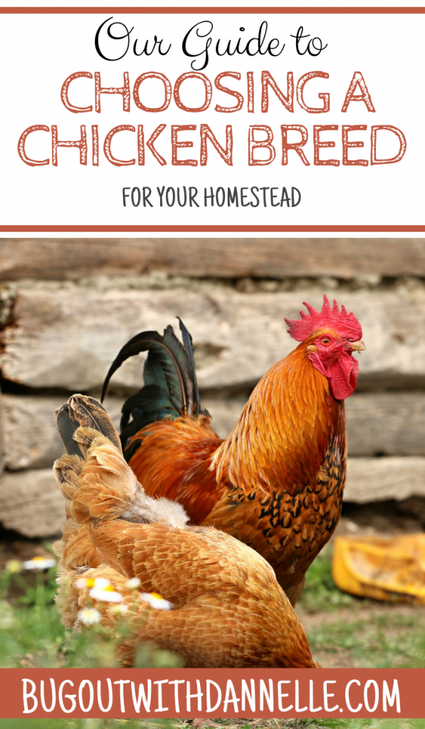 Our Guide to Choosing a Chicken Breed