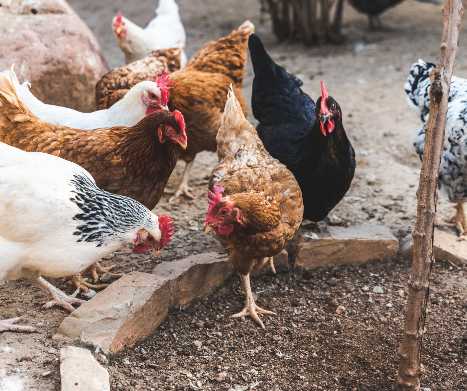 Top Chicken Raising Tips: Give Your Chickens Treats!