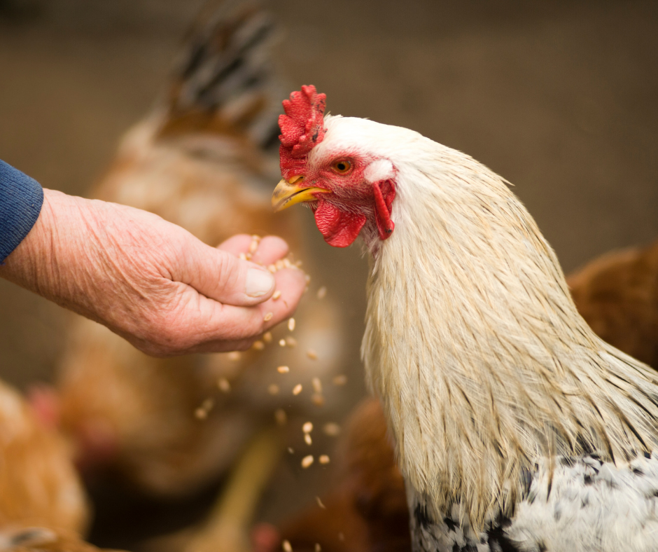 Summer Precautions to Take with Chickens