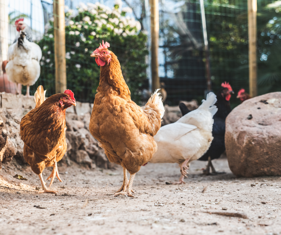 Winter Precautions to Take with Chickens