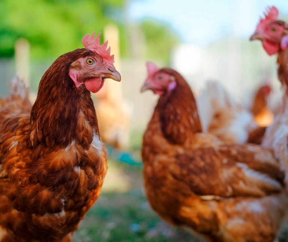 Introducing the New Birds on the Block: Raising Chickens 101